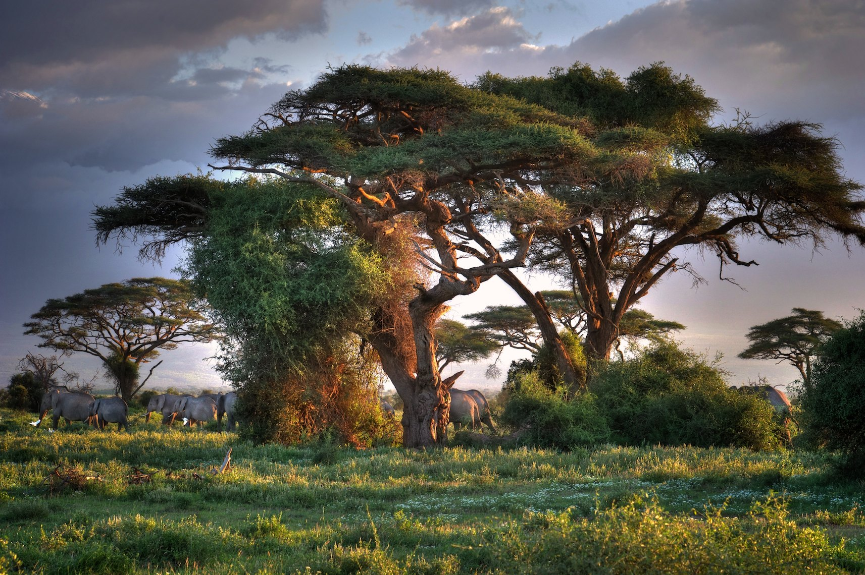 Kenya Amboseli tree elephants HDR