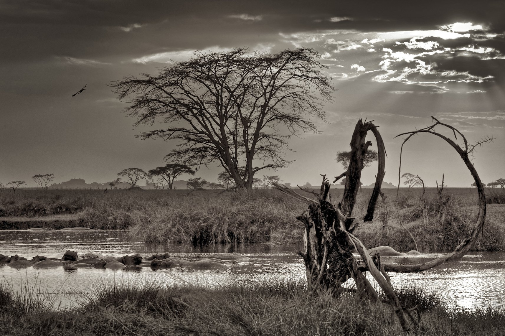 Tanzania Serengeti hippos landscape black and white