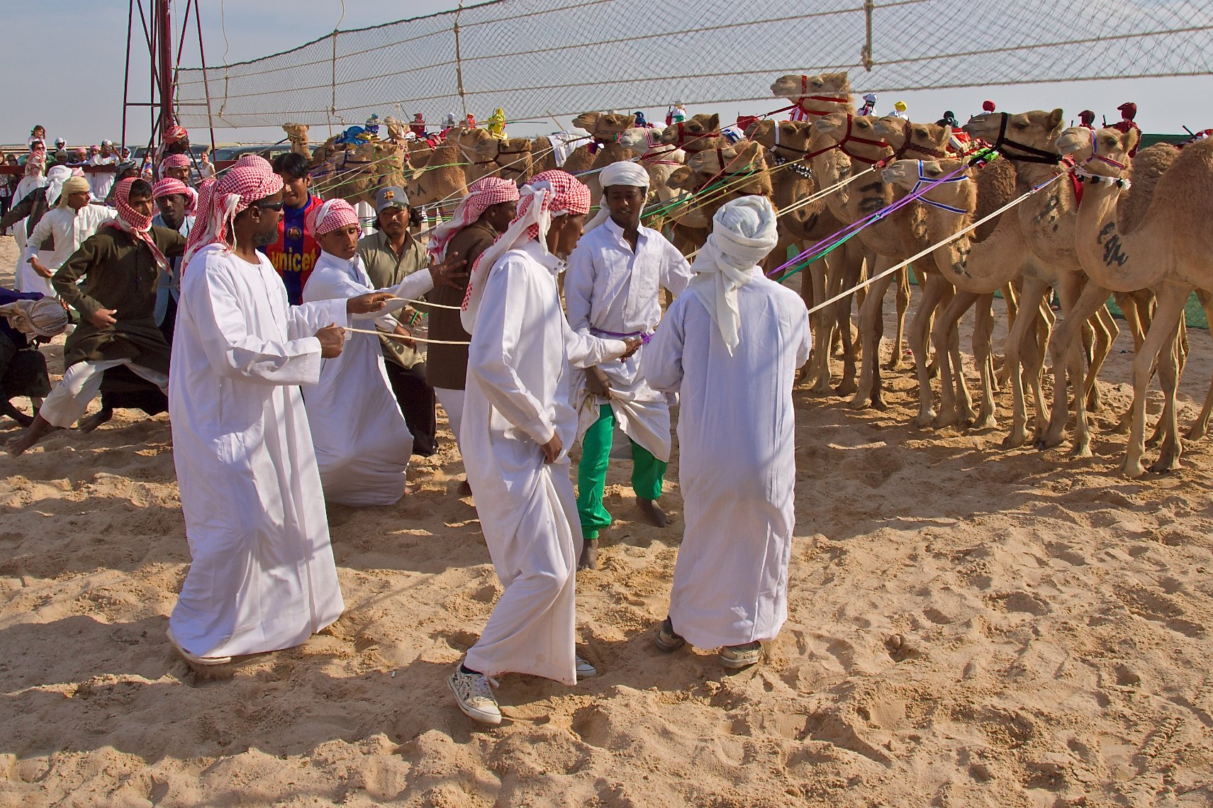 Qatar Al Shahaniya camel race preparing for  the start 4