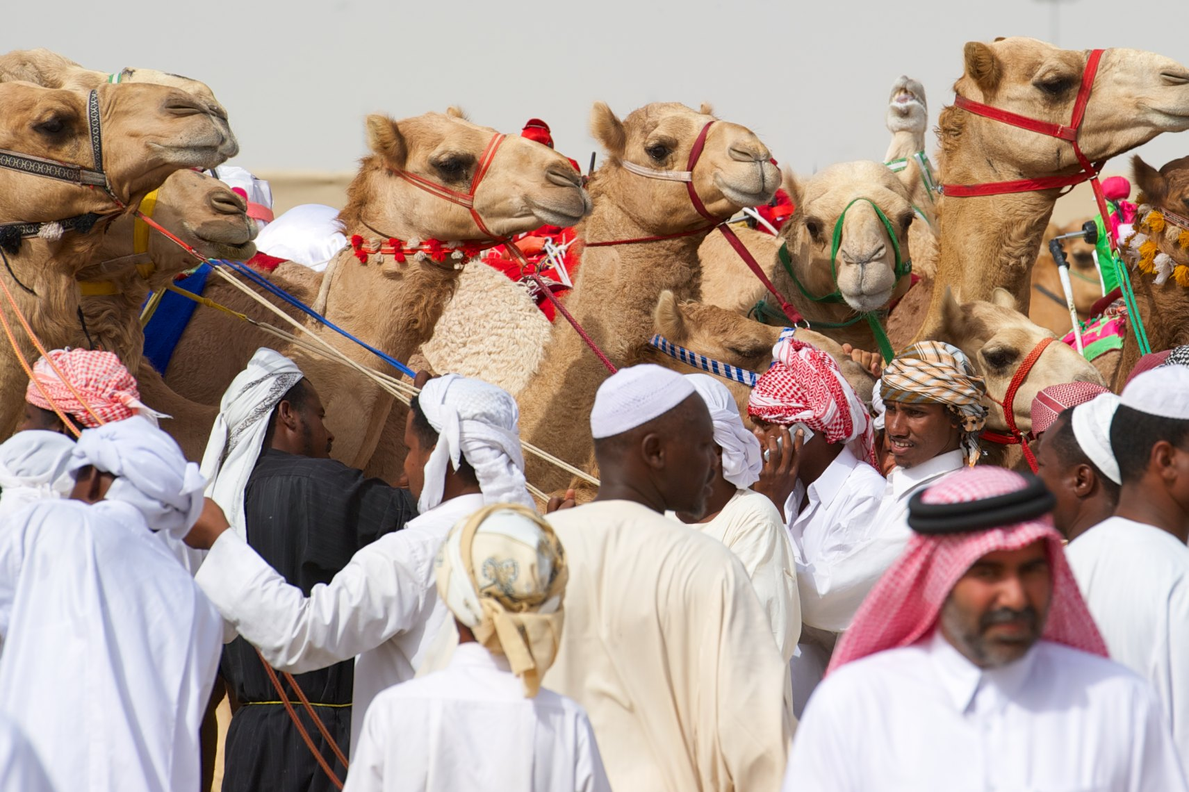 Qatar Al Shahaniya camel race preparing for  the start