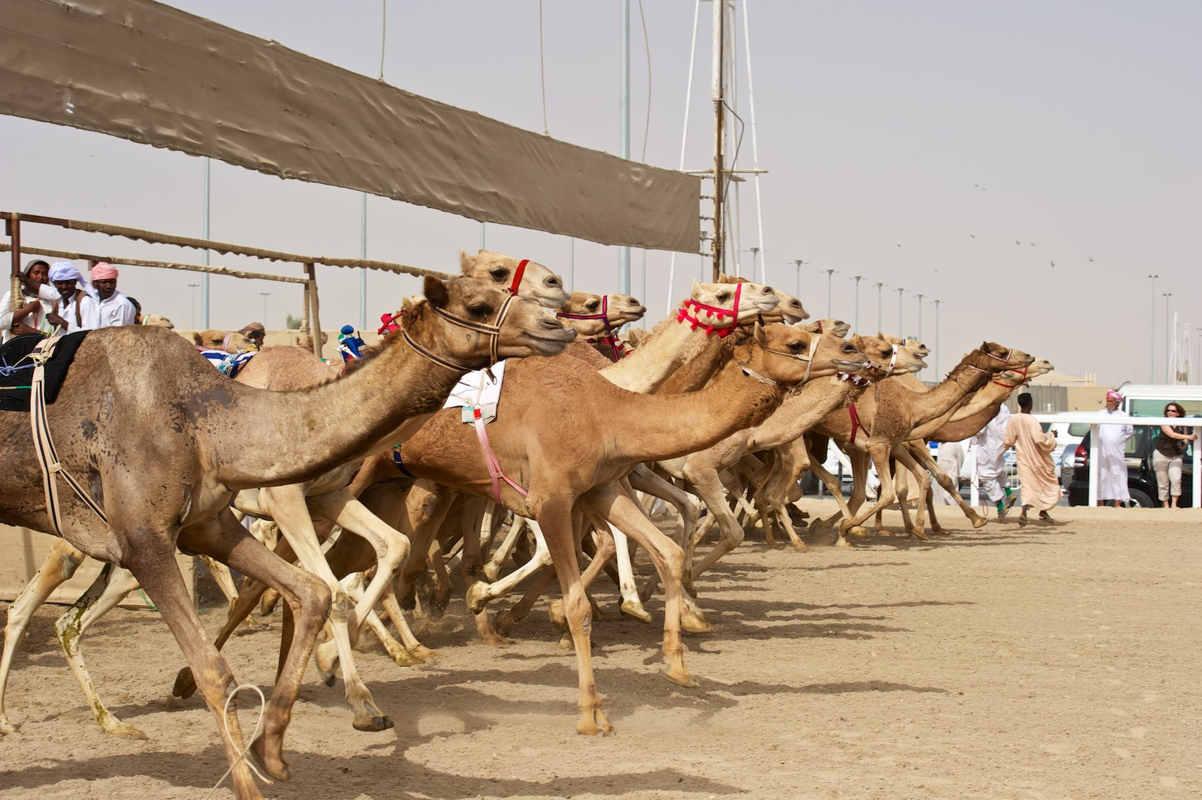 Qatar Al Shahaniya camel race at  the start 2