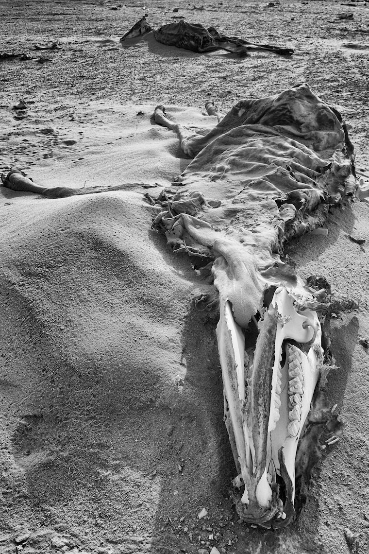 Qatar desert animal skeleton