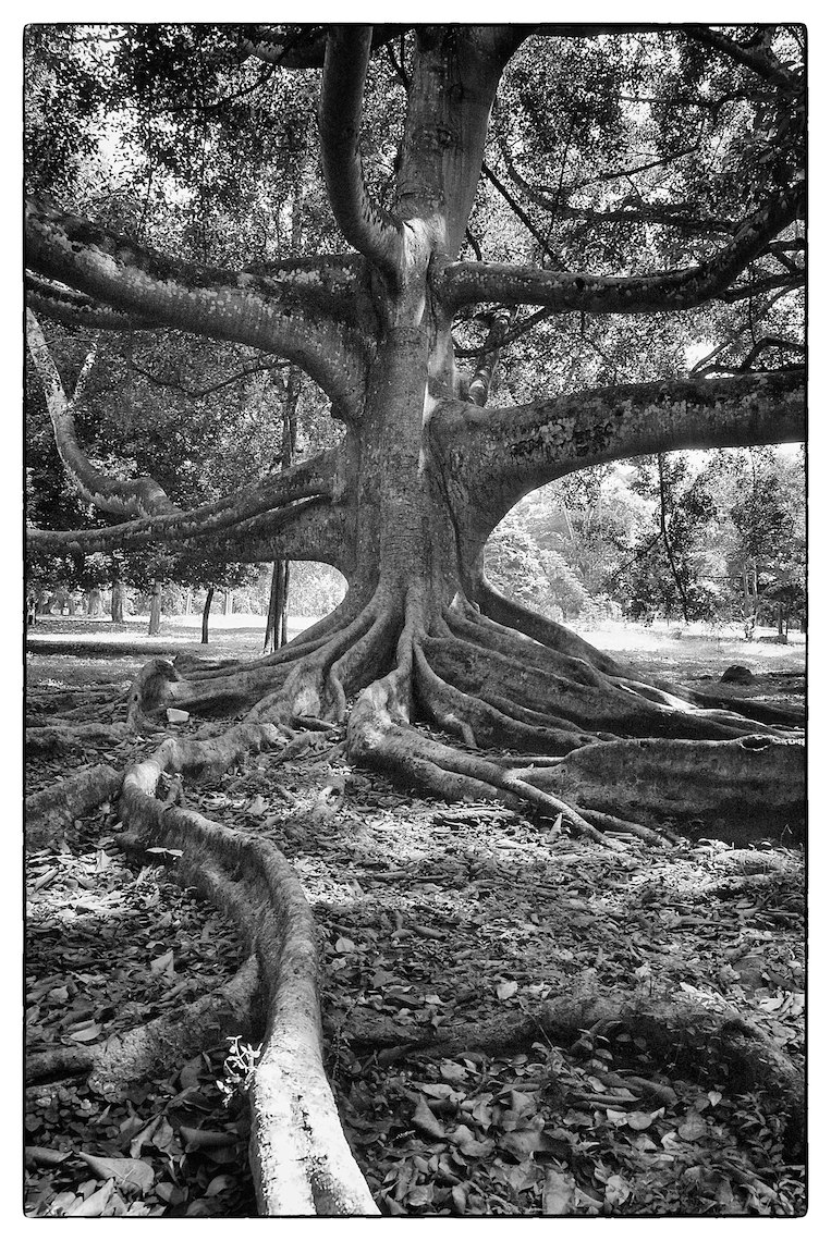Sri Lanka Kandy Botanical Garden tree black and white